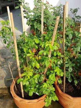 วิธีการใช้ผลิตภัณฑ์ไฟน์เดย์ วิธีการใช้ไฟน์เดย์ทำให้ต้นไม้ออกดอก  ออกผล