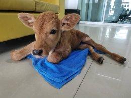 วัว มีปัญหาการเดินไม่ปกติ