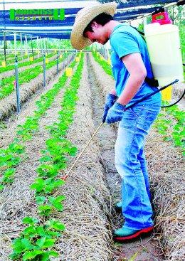 เกษตรกรพันธุ์ใหม่ หัวใจอินทรีย์ ปลูกสตรอเบอร์รี่อินทรีย์ ที่สวนหลังบ้าน