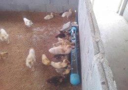 ระบบฟาร์มเลี้ยงเป็ดอัตโนมัติ เลี้ยงเป็ดโดยไม่ต้องมีบ่อน้ำ