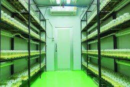 การเพาะเลี้ยงเห็ดถังเช่าด้วยห้องเพาะเลี้ยงแบบอัตโนมัติ