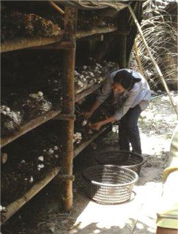 การเพาะเห็ดฟางในโรงเรือนไม่อบไอน้ำ ด้วยน้ำจุลินทรีย์มูลค้างคาว
