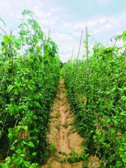 พลิกชีวิตด้วยการปลูกผักพื้นบ้าน ปลูกง่าย รายได้ดี มีตลาดต้องการ