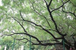 ต้นพระศรีมหาโพธิ์ สถานที่ตรัสรู้ขอพระพุทธเจ้า