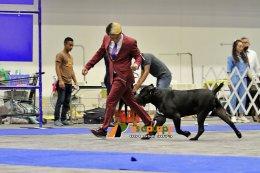 สุนัขพันธุ์เคนคอโซ่ at Dog show