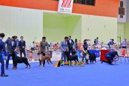 Cane Corso at Dog Show