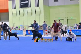 Cane Corso at Dog show