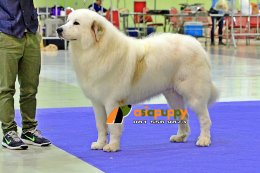 Great pyrenese