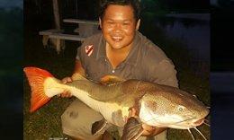 Redtail Catfish