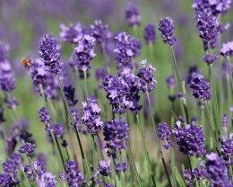 สวนลาเวนเดอร์ทัมบาระ (Tambara Lavender Park)