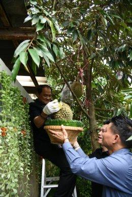 ผู้ว่าราชการจังหวัดนนทบุรี ปีนตัดลูกทุเรียน นำไปประมูลในงานทุเรียนไทย