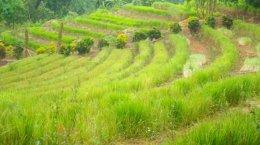 โครงการหญ้าแฝก