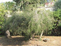 Ingredients Series ตอนที่ 3: Tea Tree ต้นกำเนิด Tea Tree Oil ส่วนผสมทรงคุณค่าในโทนเนอร์และเครื่องสำอางหลากหลายชนิด!
