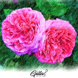 Ingredients Series ตอนที่ 2: Damask Rose ดอกไม้แสนวิเศษที่ผู้หญิงทุกคนต้องรู้จัก!