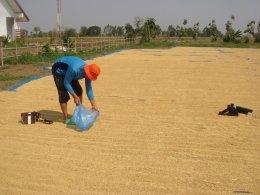 การผลิตเมล็ดพันธุ์ข้าว ตราบ้านศาลา