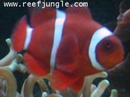 ปลาการ์ตูนแดง