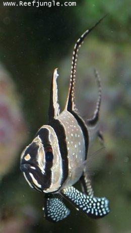 ปลาคาร์ดินัล ปลาอมไข่