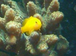 ปลาแก้วปะการัง