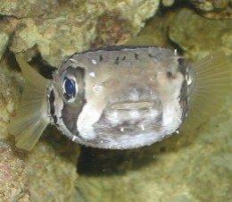 ปลาปักเป้าหนาม