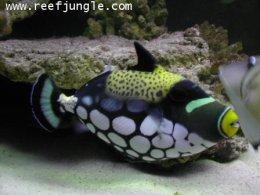 คลาวทริ๊กเกอร์ Clown Triggerfish