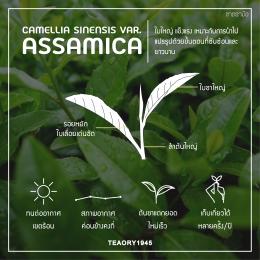 Sinensis vs Assamica ต่างกันอย่างไร
