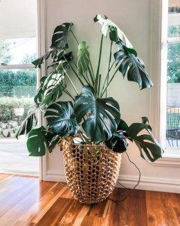 ต้นไม้ปลูกในบ้าน ช่วยฟอกอากาศ ดูแลง่าย