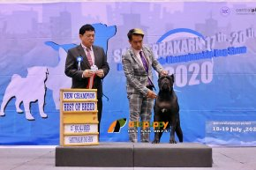 Cane Corso New Champions at Dog show