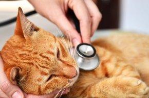 ถ้าไม่มีอุปกรณ์เคลื่อนย้ายที่เหมาะสม จะพาแมวไปหาหมออย่างไร?
