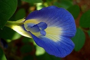 Butterfly Pea Benefits