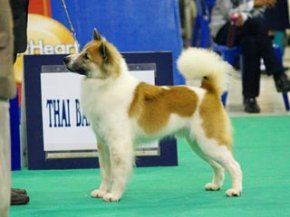The Mall Toy Dog Championship Dog Show 1/2013(TBK)