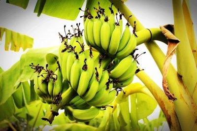 ว่าด้วยเรื่องของกล้วย!