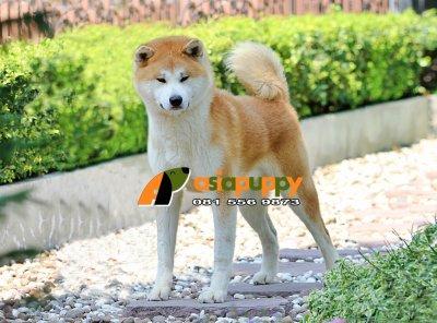 Japanese Akita