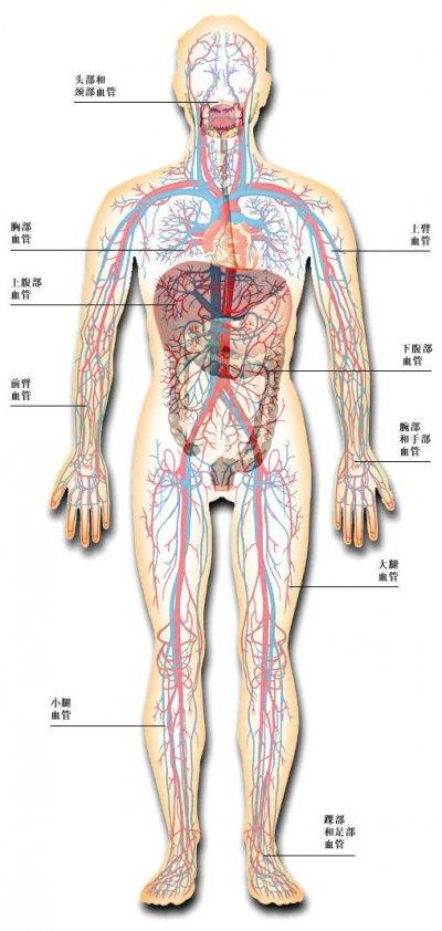 人体循环系统