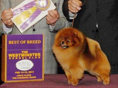 Congratuations to B.O.B. Pomeranion at Westminster 2011