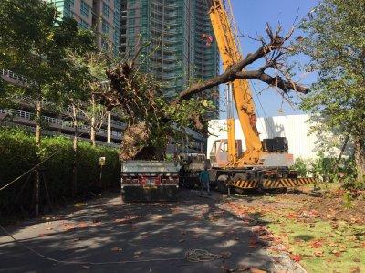 งานย้ายต้นไม้ขนาดใหญ่