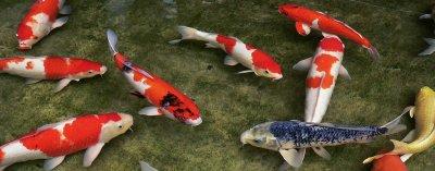 ปลาคาร์ฟ หรือ แฟนซี คาร์ฟ