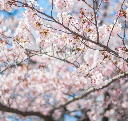 ทัวร์เกาหลี : ปูซาน-โซล ซารางเฮโย ดอกซากุระบาน
