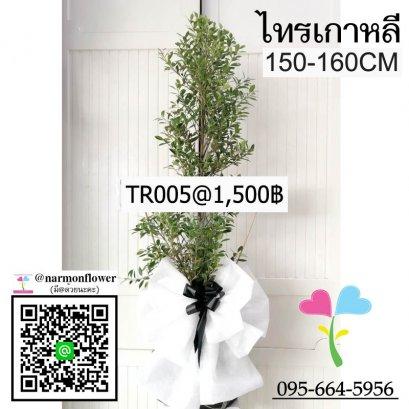 พวงหรีดต้นไม้ไทรเกาหลี TR005
