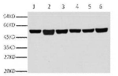 Anti-β-Tubulin Mouse Monoclonal Antibody (3G6)
