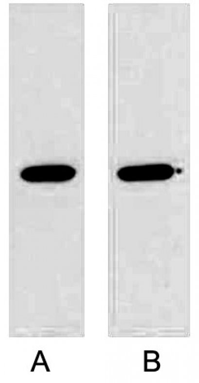 Anti-GST Tag Mouse Monoclonal Antibody (2A8), 50μ