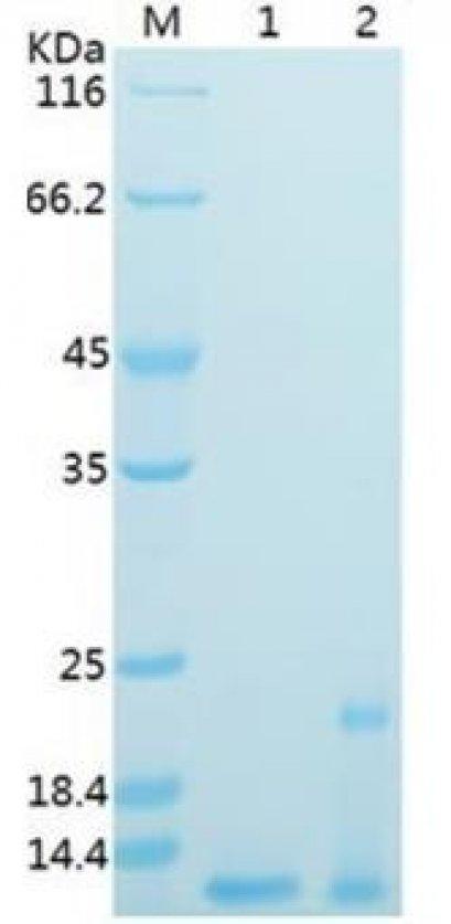 Recombinant SARS-CoV-2 NSP7