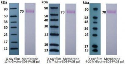 ProGlow™ Western Blot Protein Ladder