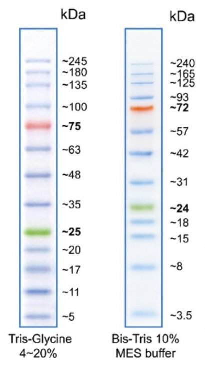 BLUEstain™ 2 Protein ladder, 5-245 kDa