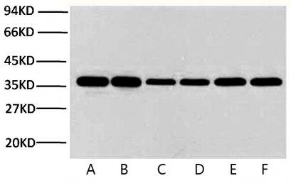 Anti-GAPDH Mouse Monoclonal Antibody (2B5)