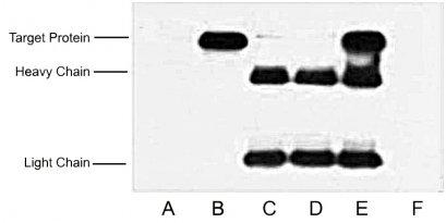 Anti-HA Tag Mouse Monoclonal Antibody (4F6)