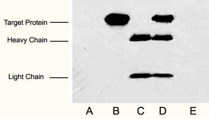 Anti-Myc Tag Mouse Monoclonal Antibody (2D5)
