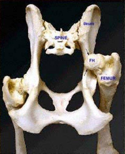สะโพกหลุด (Coxofemoral Hip Luxation)