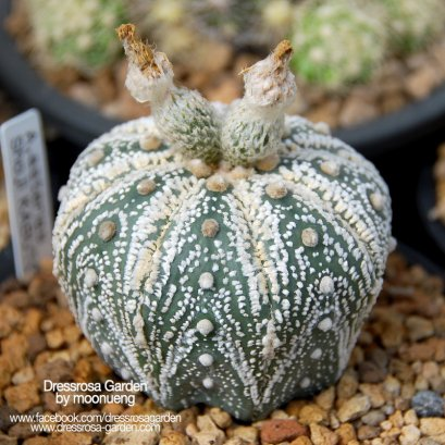 Astrophytum Seed Mix