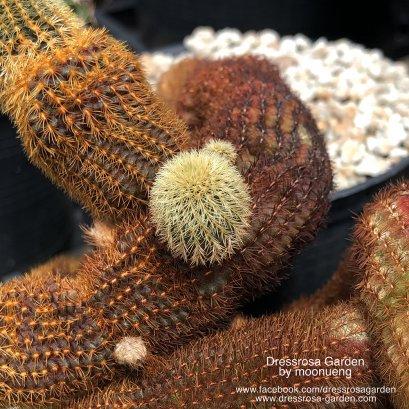 Frailea magnifica seed