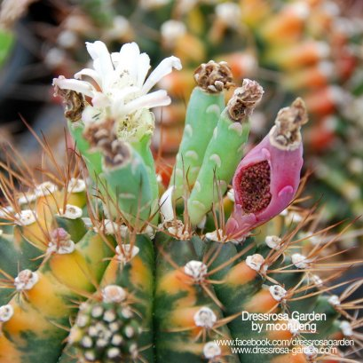 Gymnocalycium Seed Mix
